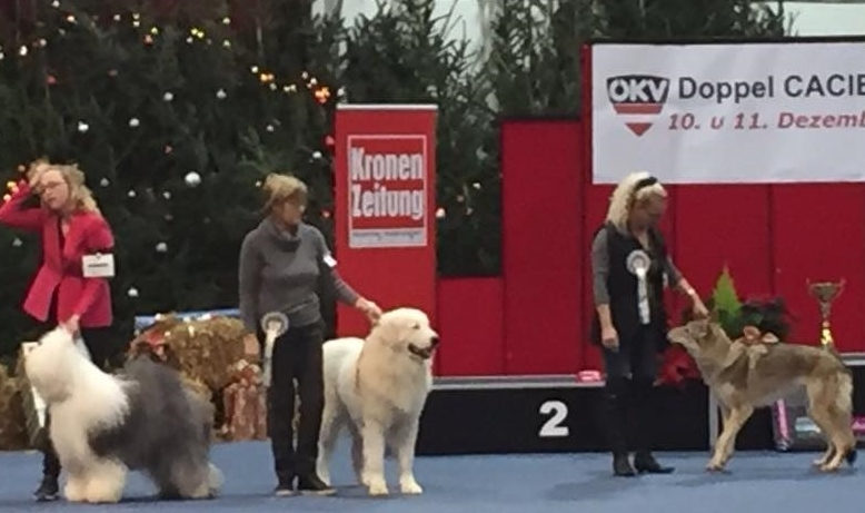 Rubino at the International dogshow in Wels, Austria - December 2016